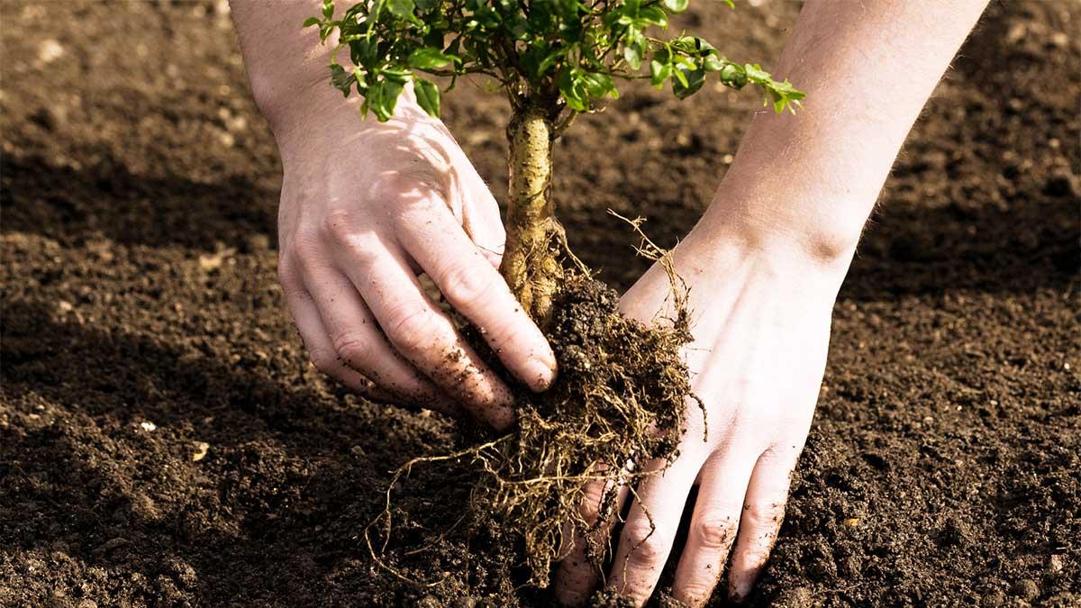 Plantarea Murului
