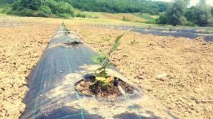infiintare plantatie - consultanta