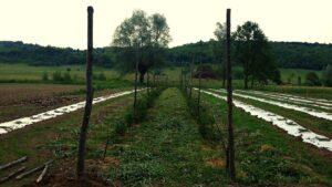 plantatie de mure - inceputurile muri.ro