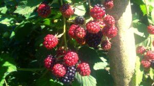 primele fructe de mur