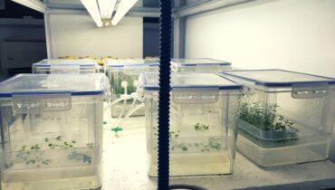 inmultirea murului in vitro